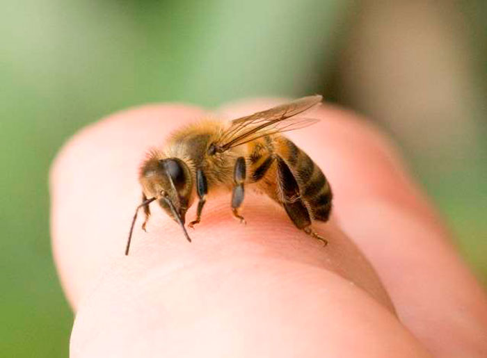 Пчелоужаливание