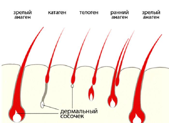 Цикл жизни волосяного фолликула