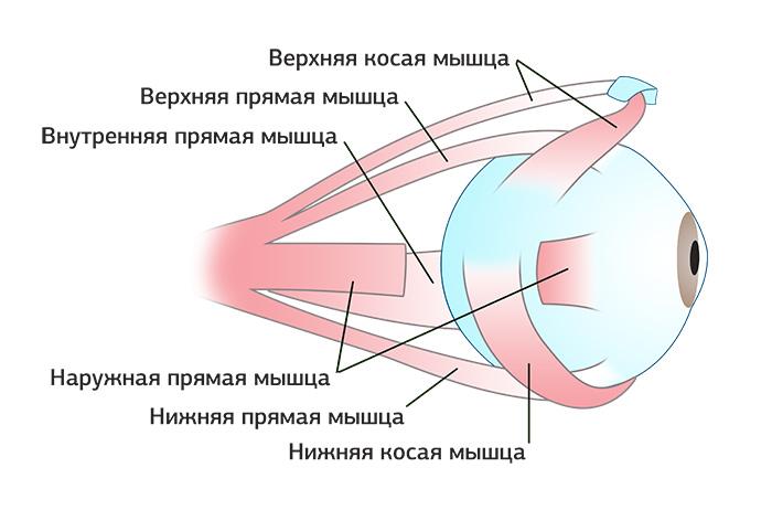Устройство глазных мышц